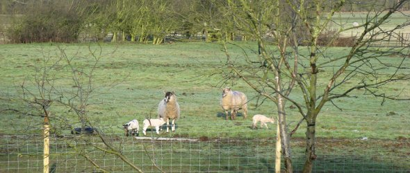 Image: Sheep in Spring